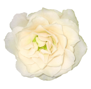 White Rose PNG Clipart Background PNG Clip art