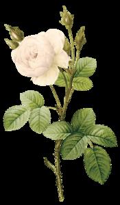 White Rose PNG Download Image PNG Clip art