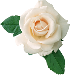 White Rose PNG Free Image PNG Clip art