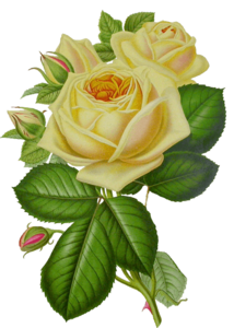White Rose PNG HD Quality PNG Clip art