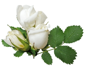 White Rose PNG No Background PNG Clip art