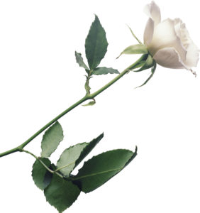 White Rose PNG Photo Image PNG Clip art