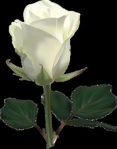 White Rose PNG Transparent Image PNG Clip art
