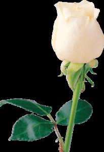 White Rose PNG Transparent Images PNG Clip art
