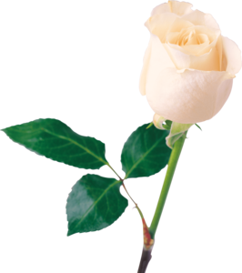 White Rose PNG Transparent Photo PNG Clip art