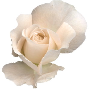 White Rose Transparent PNG PNG Clip art