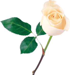 White Rose PNG icon