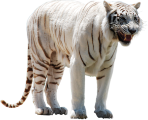White Tiger PNG Clip art
