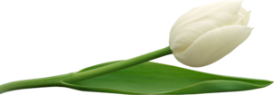 White Tulip PNG PNG Clip art