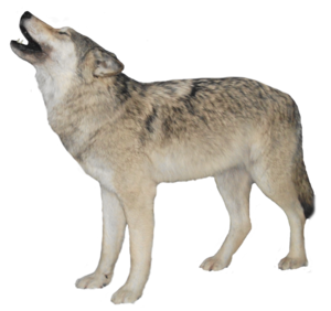 White Wolf Transparent Background PNG PNG Clip art