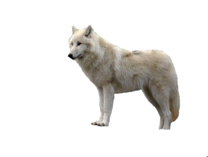 White Wolf With Transparent PNG PNG Clip art