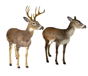 Whitetail Deer Head PNG PNG Clip art