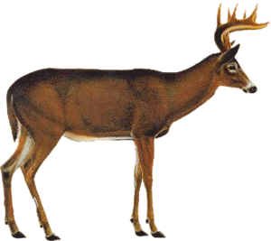 Whitetail Deer Vitals PNG PNG Clip art