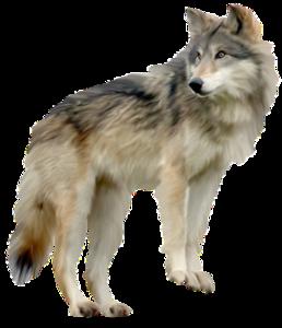 Wolf Clip Art PNG PNG Clip art