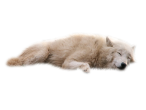 Wolves White Background Transparent PNG PNG Clip art