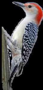 Woodpecker PNG HD PNG Clip art
