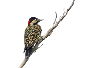 Woodpecker PNG Image PNG Clip art