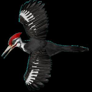 Woodpecker PNG Transparent Image PNG Clip art