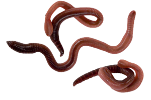 Worms PNG Image PNG Clip art