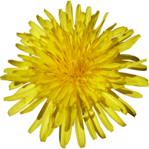 Yellow Dandelion PNG Free Download PNG Clip art