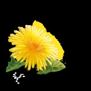 Yellow Dandelion PNG HD PNG Clip art
