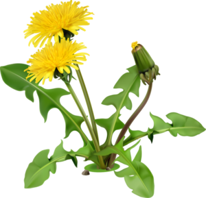 Yellow Dandelion PNG Image PNG Clip art