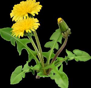 Yellow Dandelion PNG Image PNG Clip art