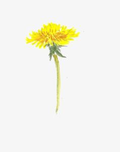 Yellow Dandelion PNG Photos PNG Clip art