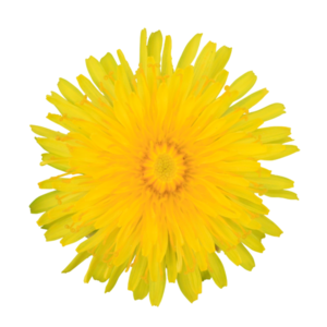 Yellow Dandelion PNG Pic PNG Clip art