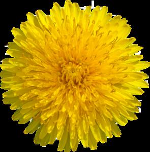 Yellow Dandelion PNG Transparent Image PNG Clip art