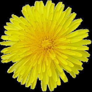 Yellow Dandelion Transparent Background PNG Clip art