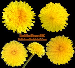 Yellow Dandelion Transparent PNG PNG Clip art