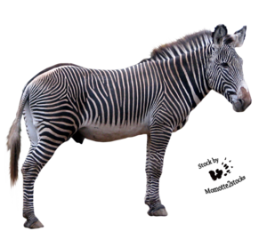 Zebra PNG Download Image PNG Clip art