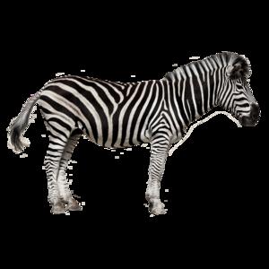 Zebra PNG Image HD PNG Clip art
