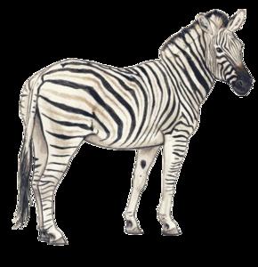 Zebra PNG Transparent Background PNG Clip art