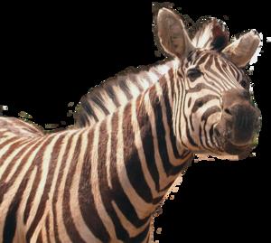 Zebra PNG Transparent File PNG Clip art