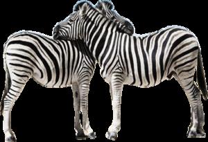 Zebra PNG Transparent Image PNG Clip art