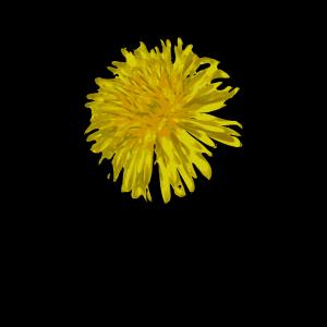 Dandelion Blue icon png