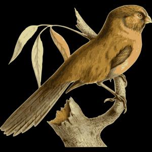 Paradoxornis Unicolor icon png