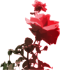 Beautiful Rose icon png