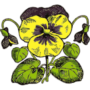 Pansy Illustration With Color icon png