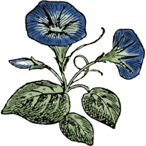 Morning Glory Illustration With Color icon png