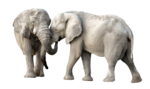 African Elephant PNG Transparent Image icon png