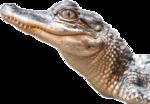 Alligator PNG Transparent Image icon png
