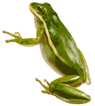 American Green Tree Frog PNG icon png