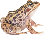 Amphibian PNG HD icon png