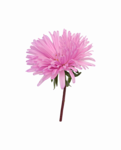 Aster PNG Image icon png