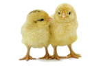 Baby Chicken PNG Photos icon png