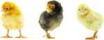 Baby Chicken Transparent Background icon png