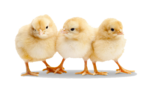 Baby Chicken Transparent PNG icon png